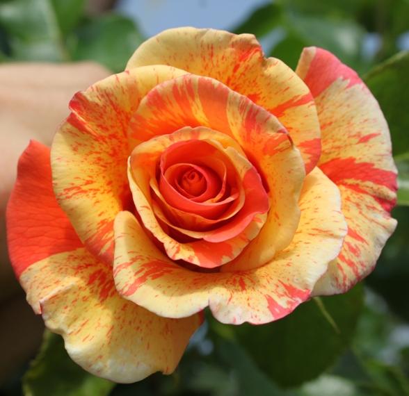 Rosa Sorbet Fruite