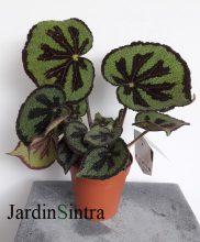 Begonia Iron Cross