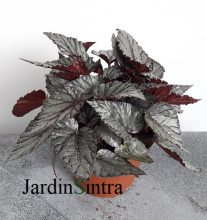 Begonia Jolly Silver