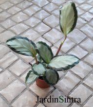 Calathea roseopicta Corona