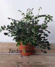 Pellea rotundifolia